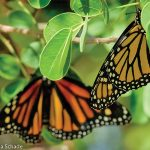 Queen of Monarchs' helps replenish  population of pollinators