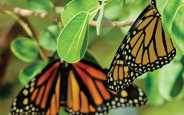 Queen of Monarchs' helps replenish  population of pollinators