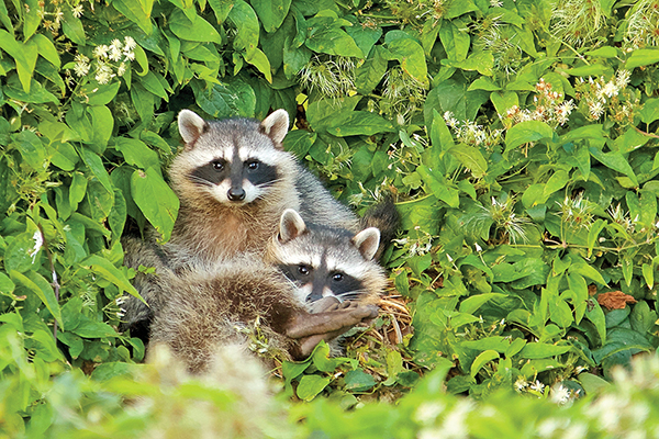 Don't touch! Raccoons might be cute, but they are still wild